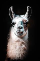 Acrylic Prints Lama Portrait d'un lama de plusieurs couleurs