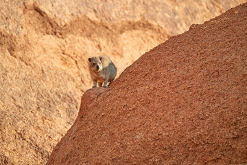 Wild Rock Hyrax, Procavia capensis on red granite rock against colorful sunset. African wildlife experience during camping and hiking bald red granite rocks in Spitzkoppe park. Traveling Namibia.