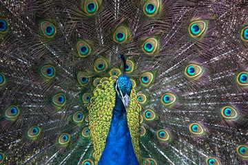 Tuinposter Pauw Pavo real mostrando su plumaje