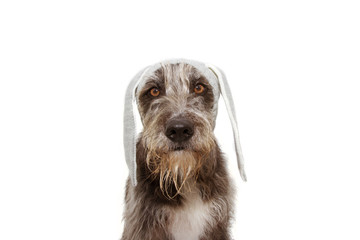 funny easter dog puppy. sheepdog with rabbit ears costume hat. Isolated on white background.