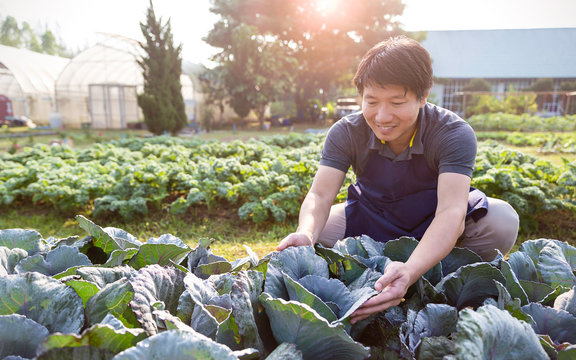 Portrait of happy owner asian man working and gardening cabbage farm, nursery worker planting in organic farm, startup small business owner, asian farmer nature banner concept