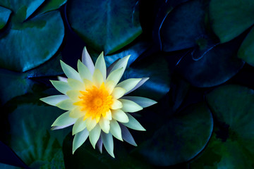 Wall Murals Lotus flower Beautiful lotus leaf near the pond, pure natural background, red lotus, lotus flower on the water surface and dark green watery leaves.