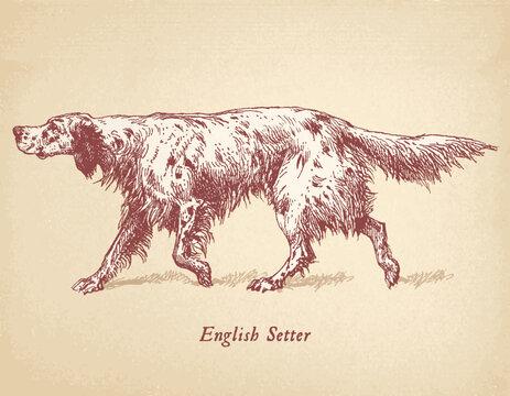 English Setter - Hunting dog vector engraving masterfully restored