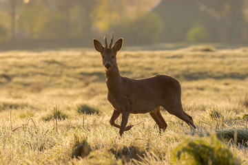 Roe buck in early spring with a touch of night frost in a meadow landscape - Hunzedal, Netherlands.