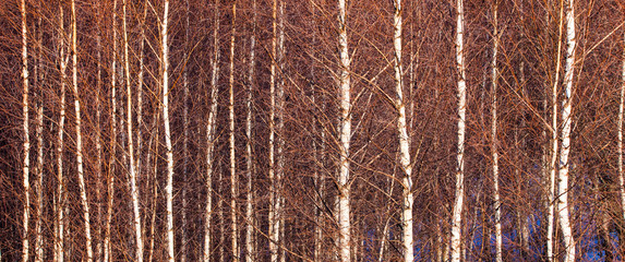 birch tree forest in the winter