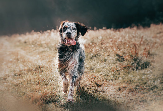 english setter joyfully runs along the summer field