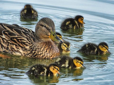 Female mallard duck (Anas platyrhynchos) swimming with young ducklings