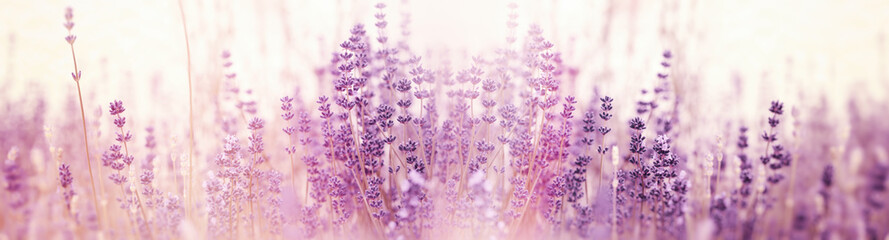 Fotobehang Lavendel Lavender flower, selective and soft focus on lavender flowers