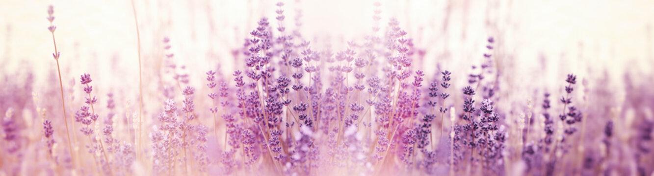 Lavender flower, selective and soft focus on lavender flowers