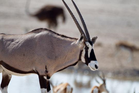 Oryx, gemsbok antelope in the wilderness of Africa