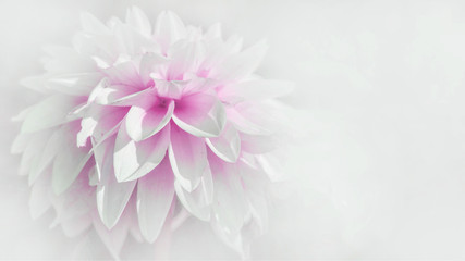 Zelfklevend Fotobehang Dahlia Close up of beautiful blooming white pink dahlia isolated on white background