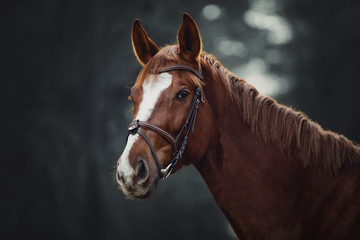 Foto op Canvas Paarden portrait of young red trakehner mare horse with bridle in dark forest
