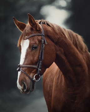 portrait of young red trakehner mare horse with bridle in dark forest