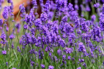 Many small blue lavender flowers in a sunny summer day in Scotland, United Kingdom, with selective...