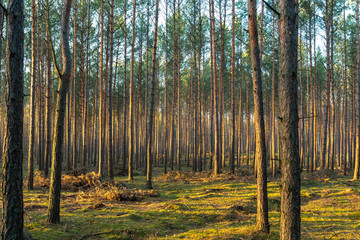 Golden evening sunlight in a  pine forest