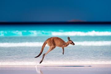 Kangaroo hopping / jumping mid air on sand near the surf on the beach at Lucky Bay, Cape Le Grand National Park, Esperance, Western Australia