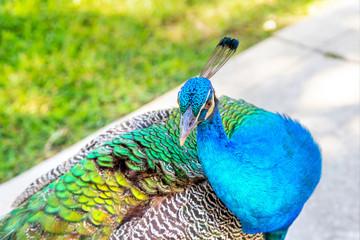 Colorful Indian Peacock in a Garden Park