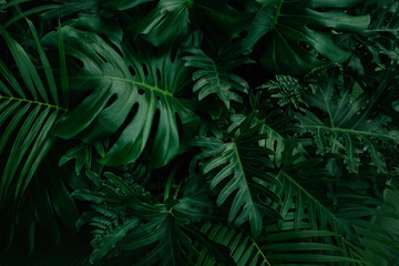 Monstera green leaves or Monstera Deliciosa in dark tones, background or green leafy tropical pine...