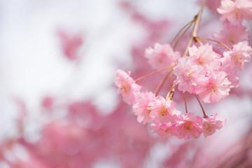 【写真素材】 桜 さくら しだれ桜 春イメージ