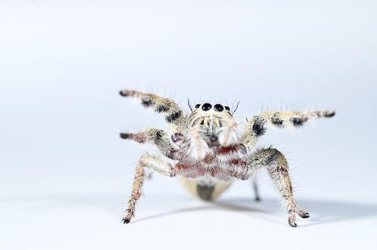 Spider macro backdrop white background.
