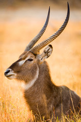 Garden Poster Antelope Wasserbock