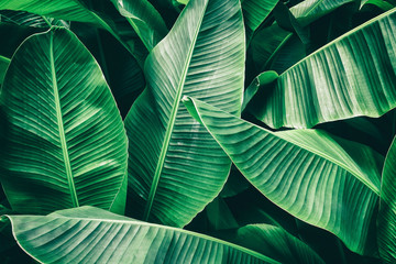 tropical leaf, lush green banana foliage in rainforest, nature background