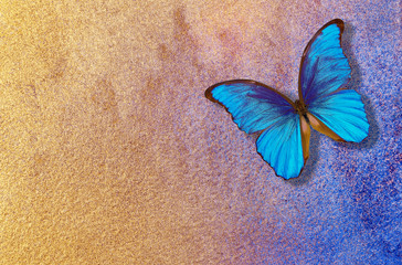 Foto op Aluminium Vlinders in Grunge gold and blue background. watercolor paper painted in blue and gold paint. bright morpho butterfly on a blue and gold background. watercolor paper texture