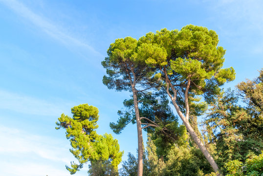 Pinus pinea, also known as the Italian stone pine, umbrella pine and parasol pine.
