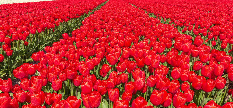Red tulips flowers blooming on a field in Holland