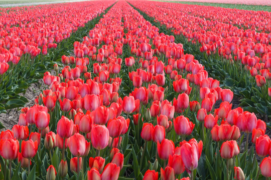 Red tulips flowers blooming on a field in Netherlands