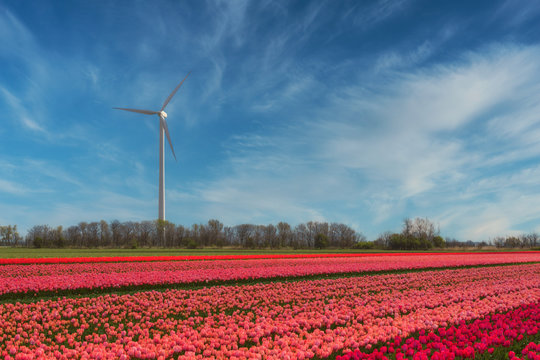 Wind power plant on a blooming tulip field somewhere in Holland - a renewable energy source