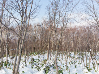 birch trees in winter with leaves all dropped and snow on ground