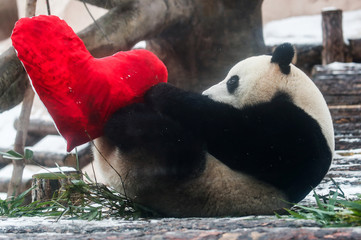 Giant male panda Ru Yi plays with a heart-shaped pillow on Valentine's Day at the Moscow Zoo