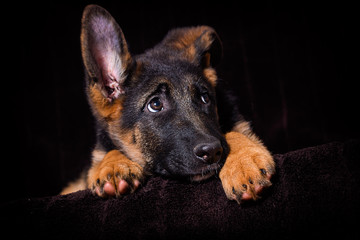 Wall Mural - Shepherd puppy lies on a brown background