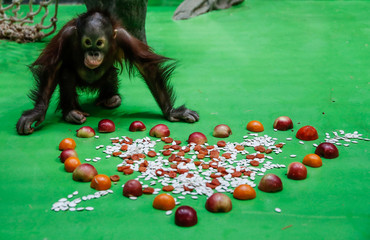 A baby orangutan approaches a treat on Valentine's Day at the Moscow Zoo