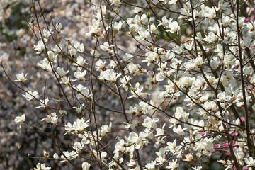 Wall Mural - White magnolia flowers