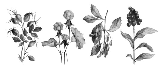 Hand drawn botanical illustration. Pencil drawn dog-rose, cloudberry, barberry, elder isolated on white. Wild berries for posters, postcards, design, wallpaper.