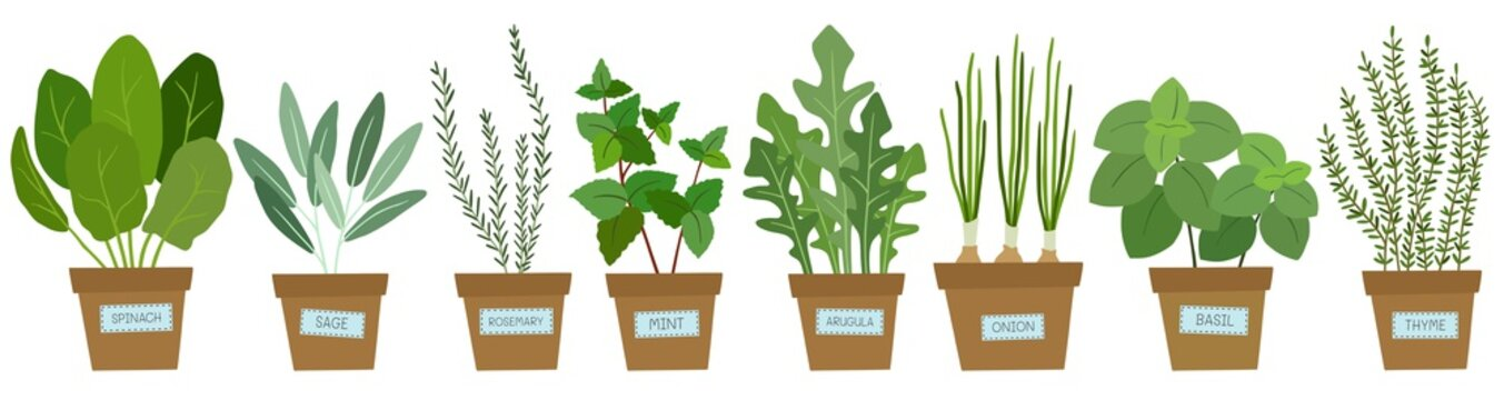 Set of potted herbs. Vector illustration.