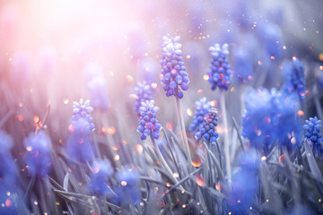 Klistermärke - Spring muscari hyacinth flowers. Beautiful Blue spring Easter holiday nature background with blue blossoming flowers closeup. Spring flower backdrop.