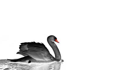 Papiers peints Cygne a lone black swan floats calmly on a lake - white background