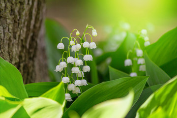 Photo sur Plexiglas Muguet de mai Lily of the valley (Convallaria majalis), blooming in the spring forest, close-up