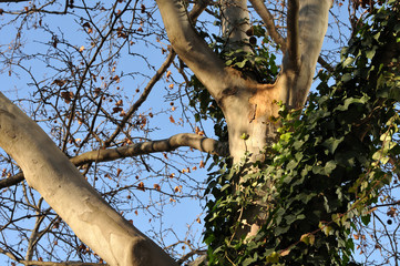 ivy climbing at trunk of a plane tree