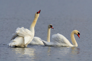 Group of Mute Swan birds - latin Cygnus olor - on a water surface during the spring mating season in wetlands of north-eastern Poland