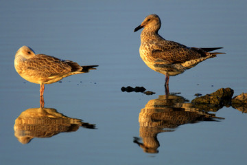 Pair of Herring Gull birds - latin Larus argentatus - on a water surface during the spring mating season in wetlands of north-eastern Poland