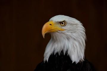 portrait of the bald eagle (Haliaeetus leucocephalus) on the dark background