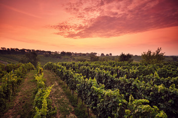 Vineyard at sunset with dramatic sky