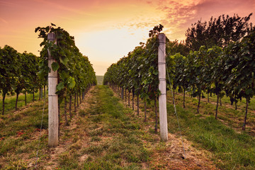 Rows of vineyards in the morning at sunrise