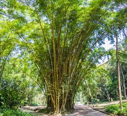 Bambus im Botanischen Garten, Rio de Janeiro, Brasilien