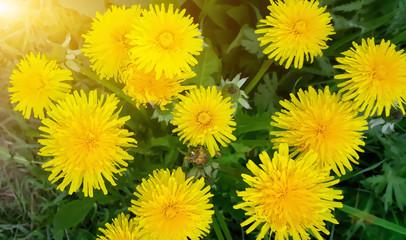 Image of yellow dandelion flowers