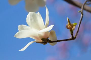 Wall Mural - White magnolia flower bloomed